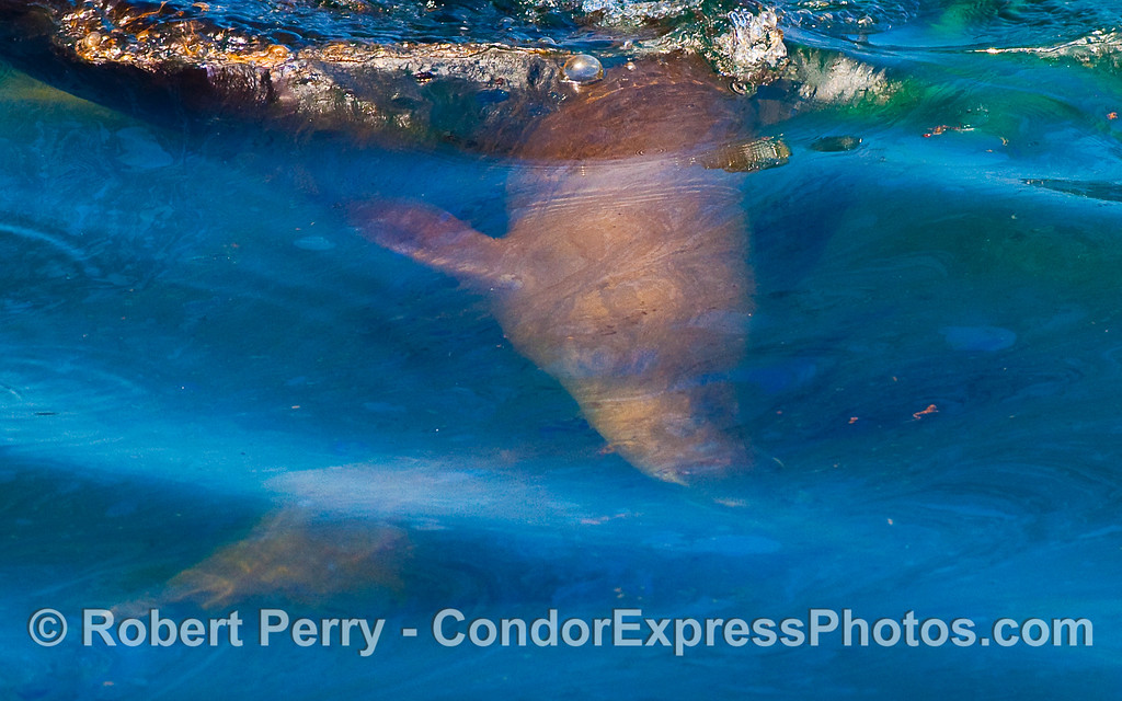 Two California Sea Lions (Zalophus californianus) swim under a natural oil slick near Platform Holly.