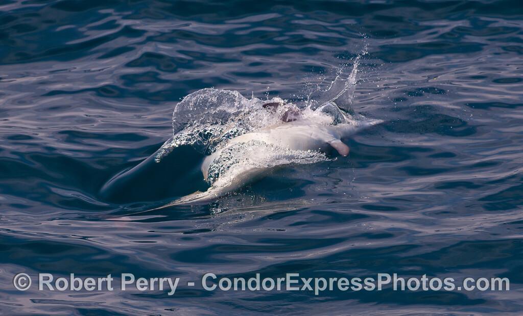 A Common Dolphin (Delphinus capensis) chases Sardines (Sardinops sagax caeruleus) upside down.