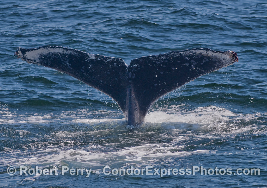 Classic tail flukes of a Humpback Whale (Megaptera novaeangliae).  The patterns of dark and light, as well as the notches and bites out of the margin, help researchers at the Cascadia Institute in Washington State identify individual Humpback Whales.