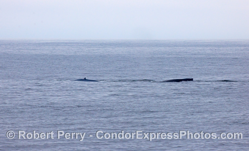 Two species for the price of one:  on the left, a Blue Whale, on the right, a Humpback.