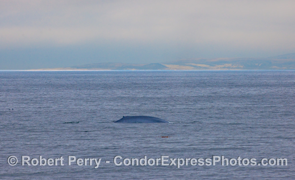 The right flanks and dorsal fin of a Blue Whale with Santa Rosa Island in the back.