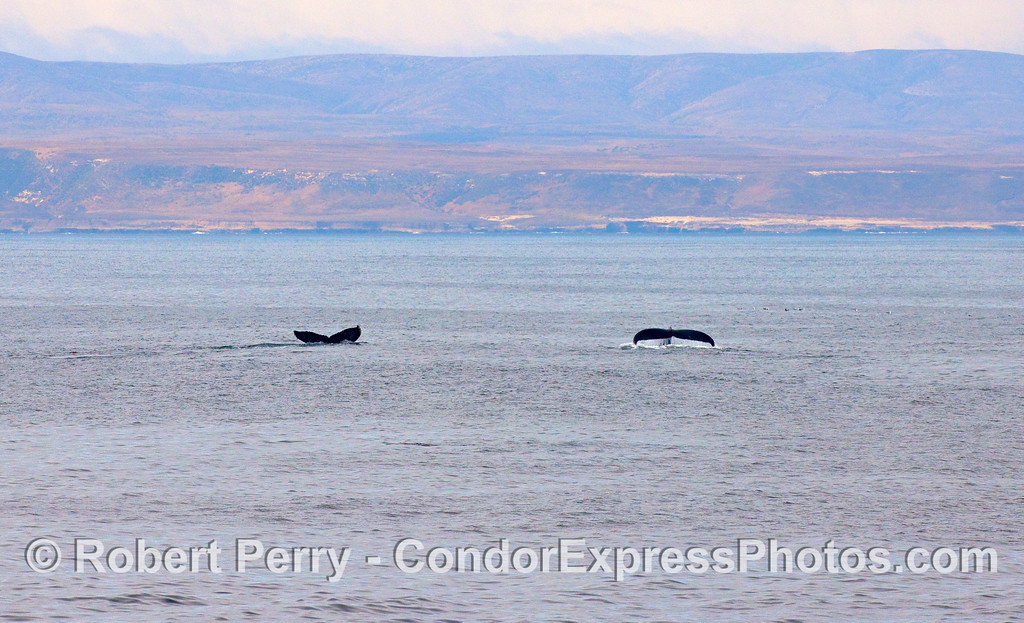 Twin Humpback tail flukes and Santa Rosa Island in the background.