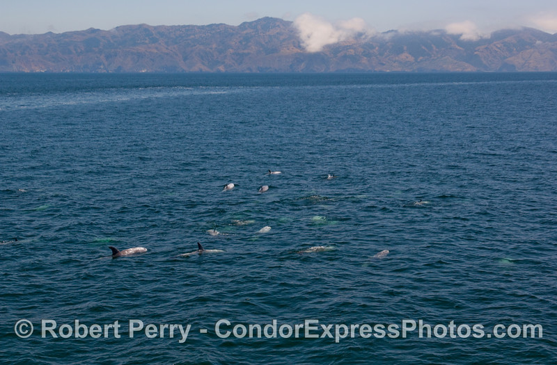 A herd of Risso's Dolphins and Santa Cruz Island in the background.