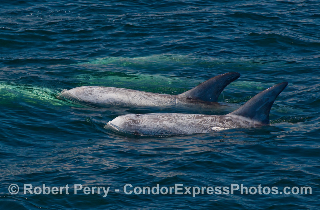 Two up, three down - Risso's Dolphins.