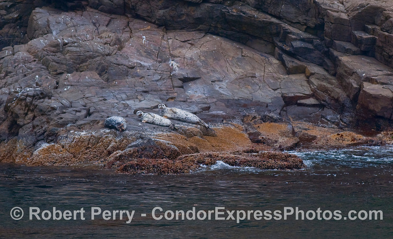 Three Pacific Harbor Seals rest in the sun on a rocky ledge.