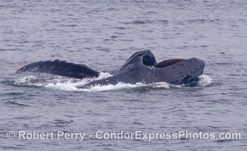 Another lunge feeding Humpback Whale.  The top of the head is on the right and the baleen can be seen hanging from the upper jaw.