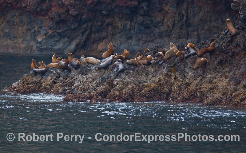 California Sea Lions rest on a rock ledge - Santa Cruz Island.