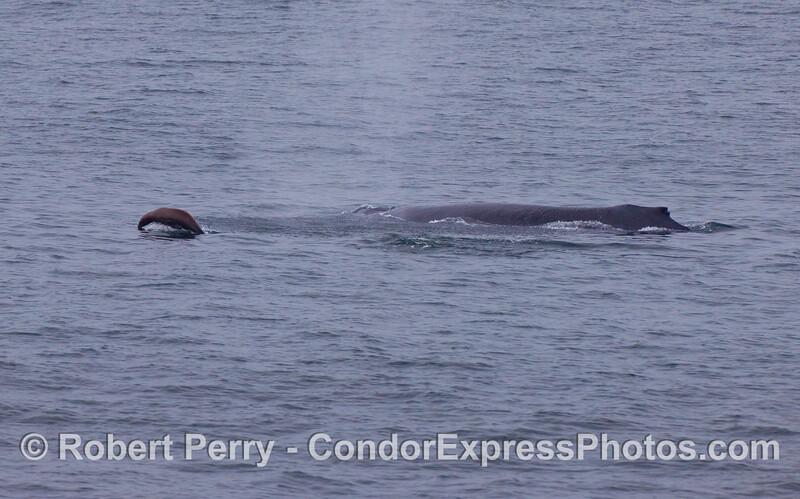 A California Sea Lion leaps ahead of a Humpback Whale.