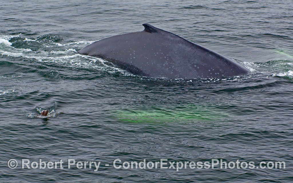 A Humpack Whale, with white pectoral fins glowing in the green ocean, arches its back as a curious California Sea Lion watches.