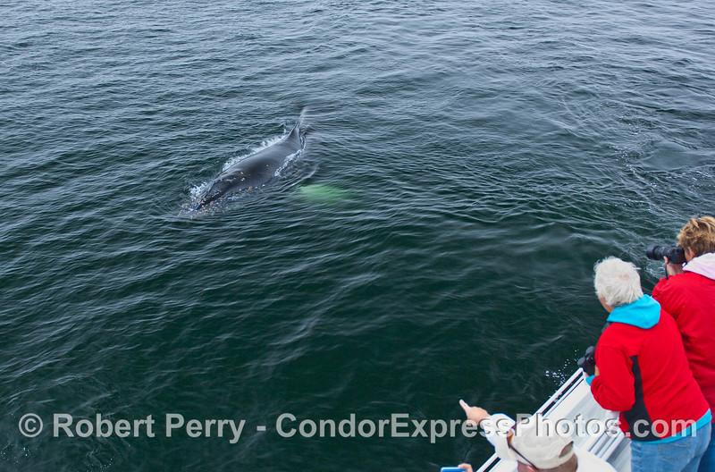 A Humpback Whale makes a friendly, close approach.