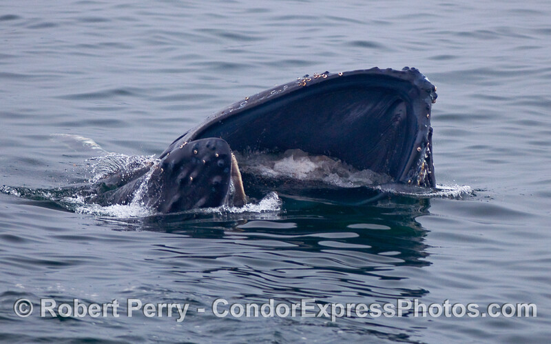 Image sequence, 1 of 3:  A Humpback Whale opens its mouth to engulf Krill (Thysanoessa spinifera).  the top of the head is at the lower left, and you ar looking directly into the lower oral cavity and the huge, expanded ventral grooves.  If you click to enlarge, you can see the little red individual krill inside the mouth.