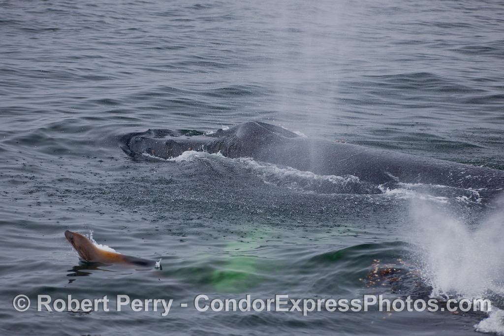 A California Sea Lion in the midst of two Humpback Whales.