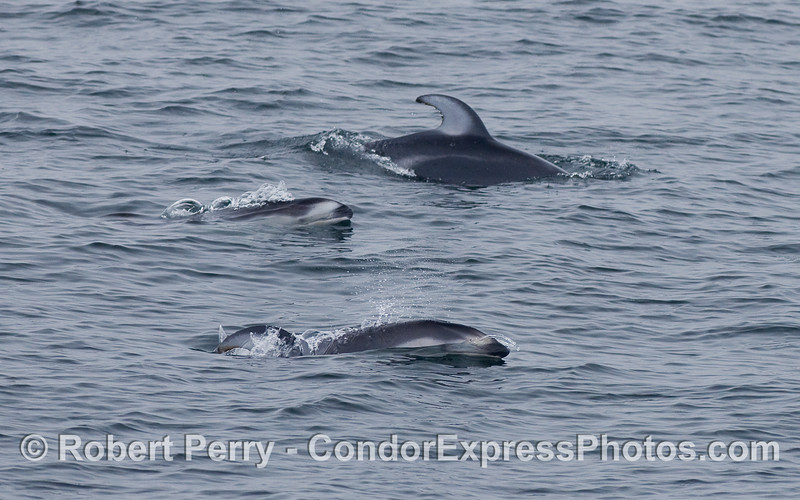 Three Pacific White-sided Dolphins.