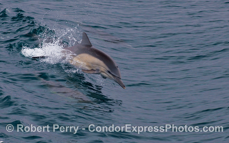 A Common Dolphin leaps across a small open ocean wave.