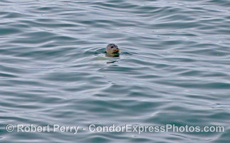 A lone Pacific Harbor Seal (Phoca vitulina richardsonii) takes a look around in the middle of the Santa Barbara Channel.
