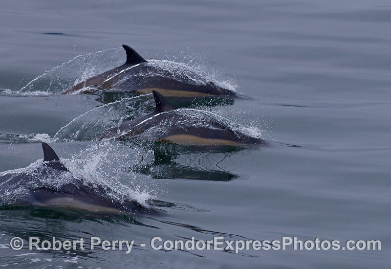 Three Common Dolphins (Delphinus capensis) slice across the mirror.