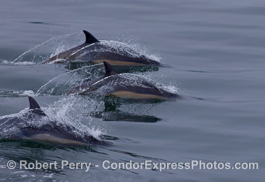 Three Common Dolphins (Delphinus capensis) slice across the mirror.