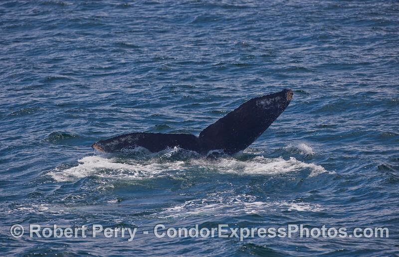 Signature tail flukes of a Humpback Whale.