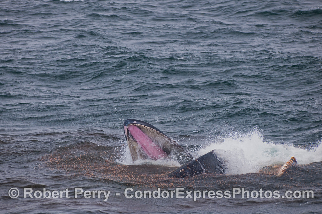 Image 1 of 2:  With its mouth wide open, surrounded by red colored Krill, a Humpback Whale takes a mouthful.  The pink palate and tan baleen can be seen inside the upper jaw.   This is a wide angle view of the next image which shows the action close up.  The second photo in the series follows with both wide-angle and close-up versions as well.