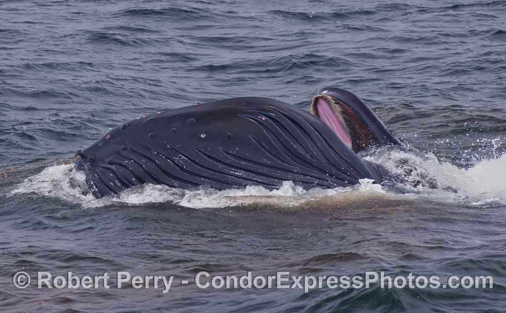 An ocean red with Krill surrounds a lunge feeding Humpback.  The baleen appears to be coated with krill.