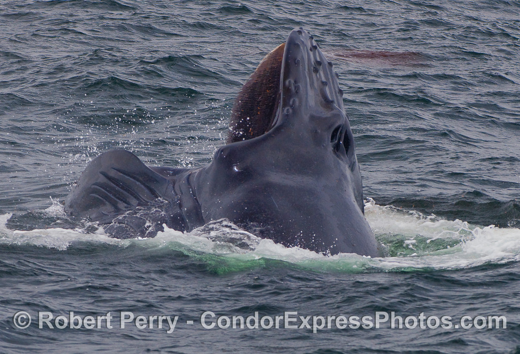 A Humpback lunges forward, away from the camera.  Krill can be seen caught in the baleen, and in a large red patch floating in the upper right.