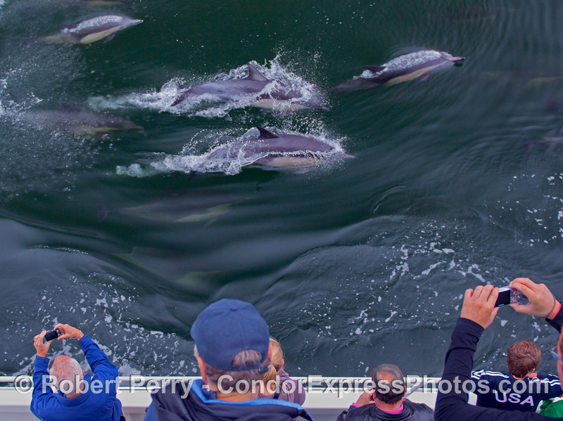 Several Common Dolphins (Delphinus capensis) put on a show for the whalers on board the Condor Express.