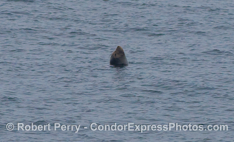 A female Elephant Seal (Mirounga angustirostris) takes a nap in the middle of the Santa Barbara Channel...an easy hors d'oeuvre for any Orcinus orca that may happen to pass by [NOTE: no Orcas were seen].