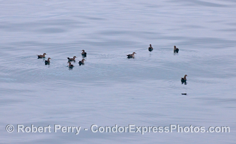 Sooty Shearwaters (Puffinus griseus) are seen resting on glassy water in the middle of the Santa Barbara Channel.