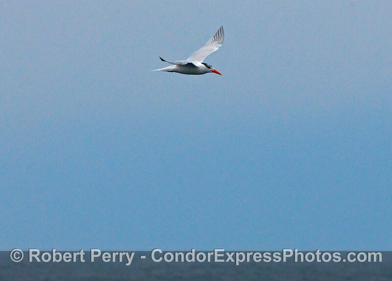 A Royal Tern circles over a large  patch of Krill.