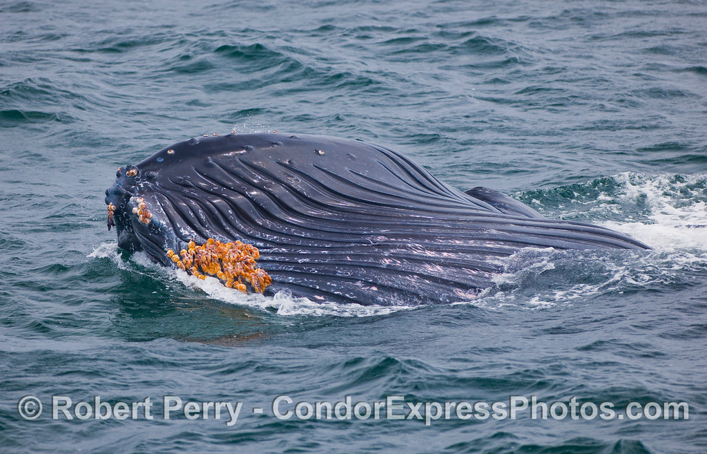 """The ventral grooves and expanded oral pouch can be seen in this """"chin"""" shot.  Also visible are the stalked barnacles (Conchoderma sp) which attach to sessile, acorn barnacles (Coronula sp) on the Humpback Whale's skin.  For an interesting account of these epizoic species, see Felix, F. EPIZOIC BARNACLES REMOVED FROM THE SKIN OF A HUMPBACK WHALE AFTER A PERIOD OF INTENSE<br /> SURFACE ACTIVITY, MARINE MAMMAL SCIENCE, 22(4): 979–984 (October 2006)."""