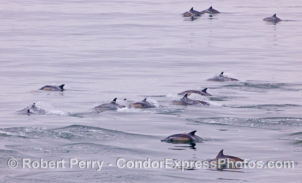 Part of a wide spread herd of Common Dolphins (Delphinus capensis).