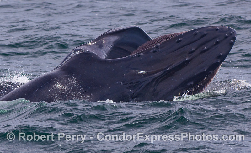 A sideways, diagonal lunge...top of head and closed blowholes are visible.