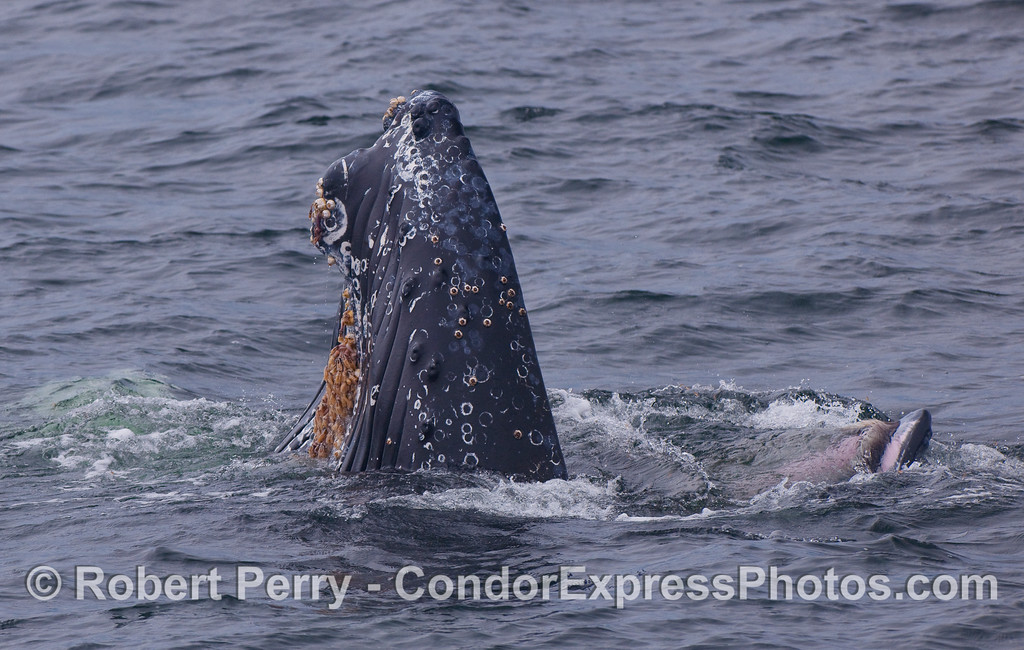 Image 1 of 2:  Lower jaw straight up in the air.