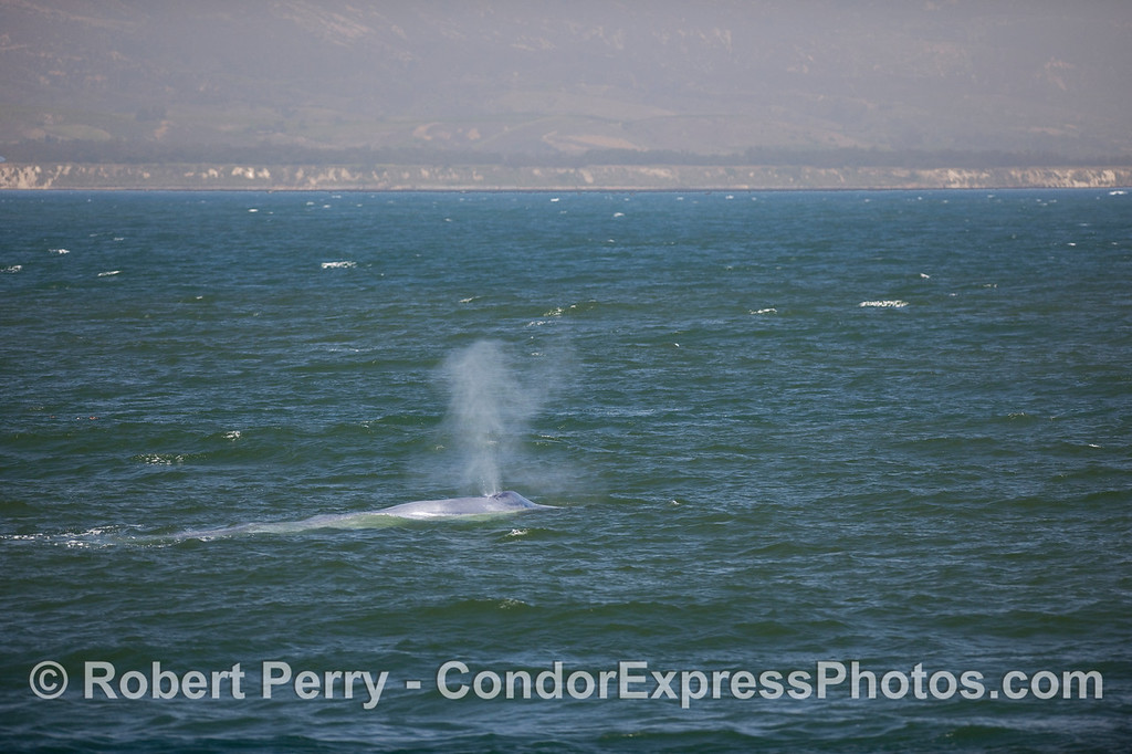 Blue Whale spouting with shoreline and bluffs of Santa Barbara county in the background.