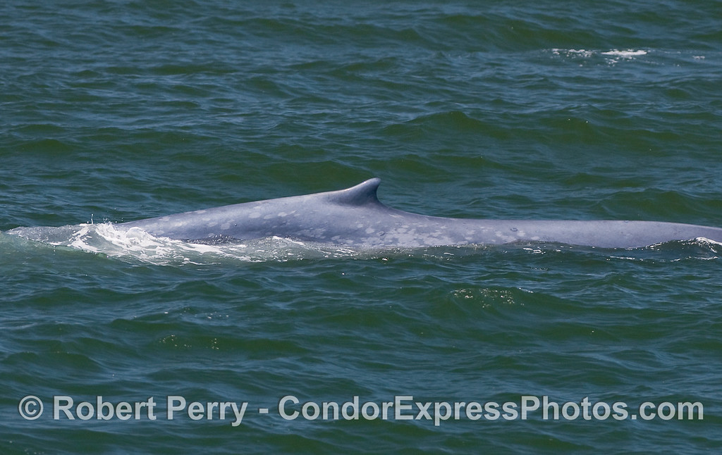 Blue whale, left flanks and dorsal fin.