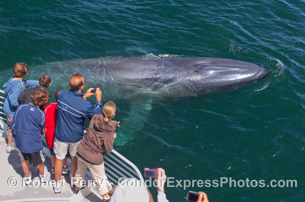 Image 4 of 5:  A curious young Blue Whale comes very close to the whalers on board the Condor Express.