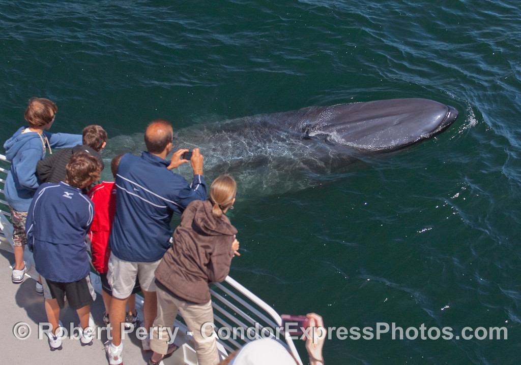 Image 3 of 5:  A curious young Blue Whale comes very close to the whalers on board the Condor Express.