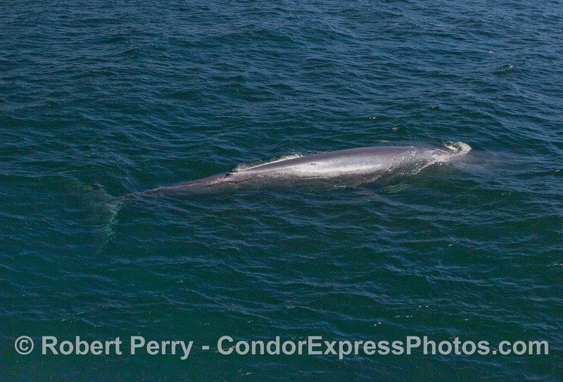 An entire Blue Whale - rarely can one capture a whole body in one image without being in a helicopter or plane.  This young whale, however, was only about 30 feet long.