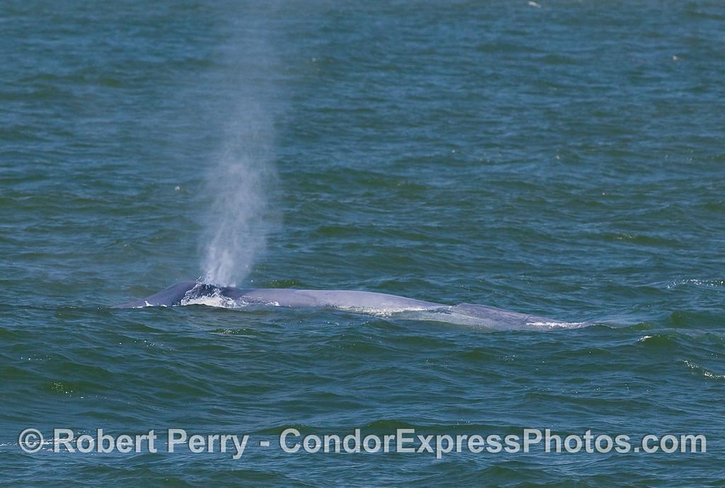 Blue Whale spout.
