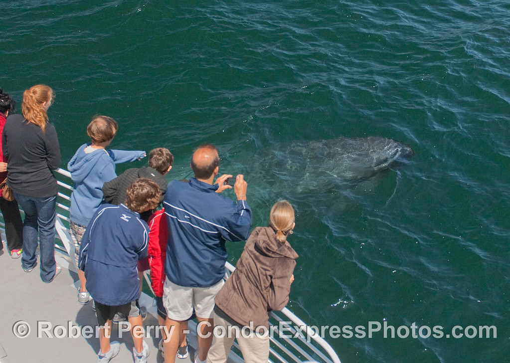 Image 1 of 5:  A curious young Blue Whale comes very close to the whalers on board the Condor Express.