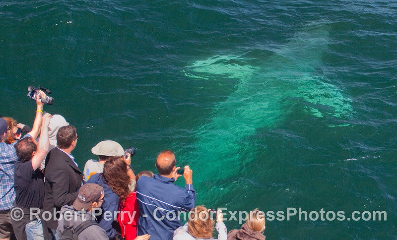 The young Blue Whale passes directly under the Condor Express completely UPSIDE DOWN!