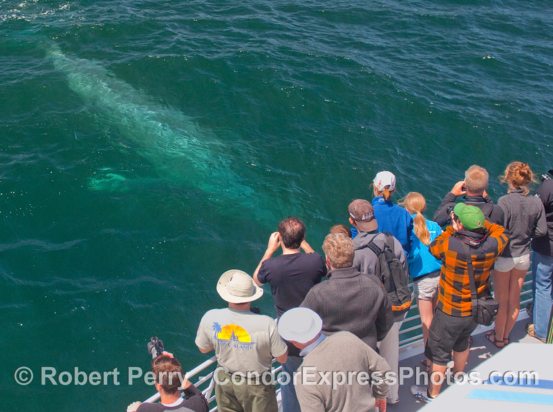 A young Blue Whale approaches the Condor Express whalers.