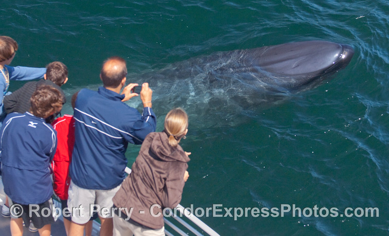 Image 2 of 5:  A curious young Blue Whale comes very close to the whalers on board the Condor Express.