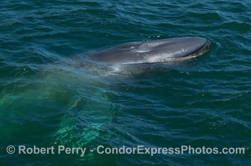 Image 1 of 2:  Blue Whale surfacing alongside the Condor Express.