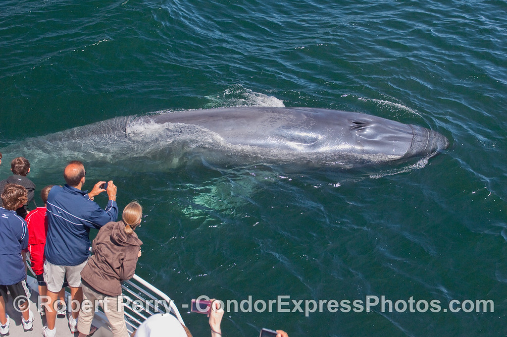 Image 5 of 5:  A curious young Blue Whale comes very close to the whalers on board the Condor Express.