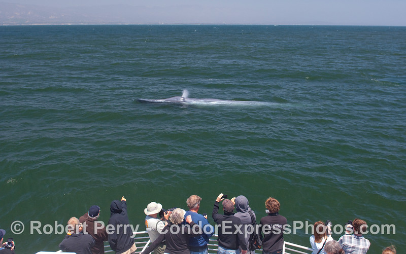 A Blue Whale begins to spout as the whalers look on.