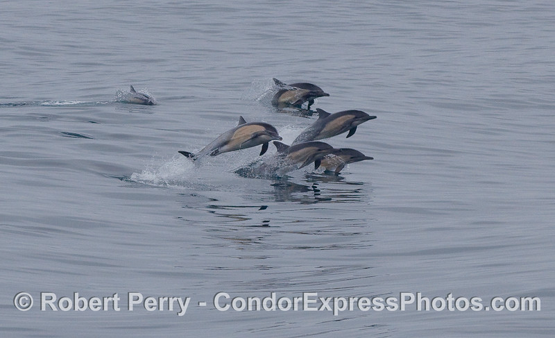 Five leaping common Dolphins.