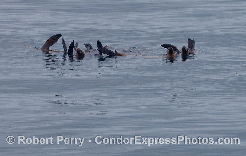 Another raft of lounging California Sea Lions.