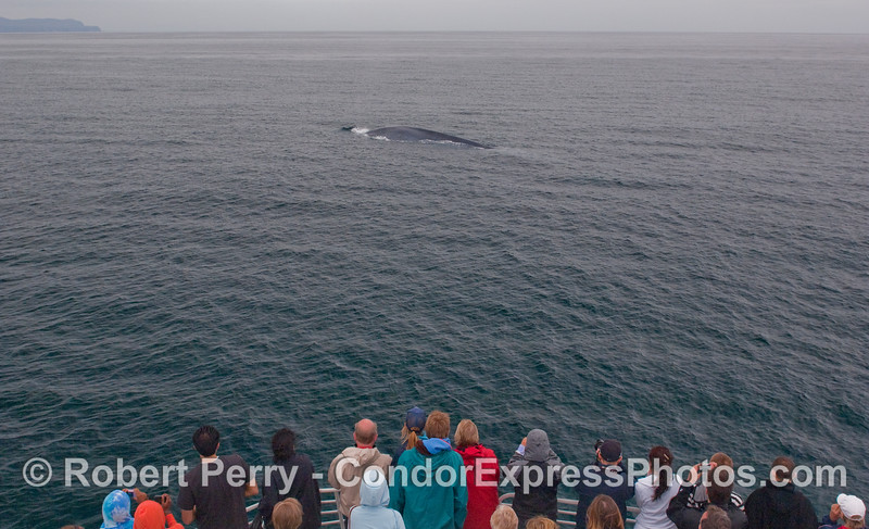 Whalers on board the Condor Express see the largest animal that ever lived on Earth, a Blue Whale.