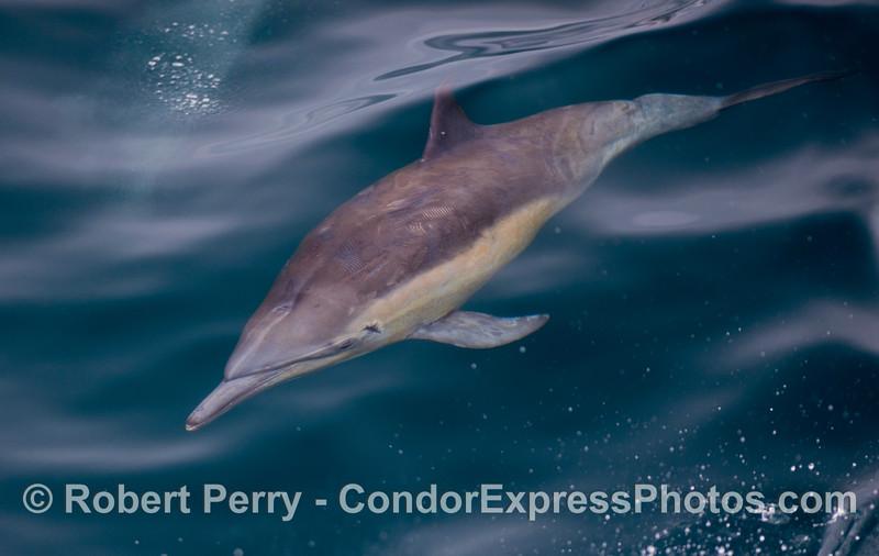 Common Dolphin.